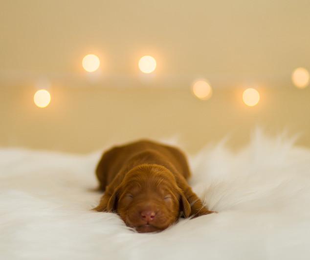 Doodle_Puppies