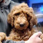 Goldendoodle Puppies California