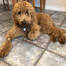 Goldendoodle Puppy 2