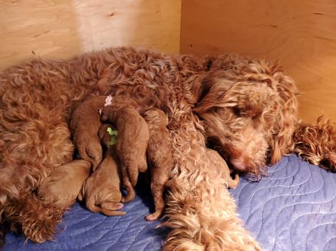 Irish Doodle Puppies Breeder in California