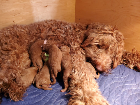 Irish Doodle Puppies Breeder in California