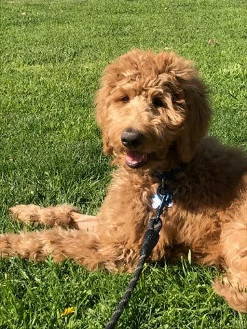Goldendoodle Puppy 4