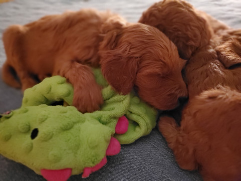 Irish Doodle Puppies