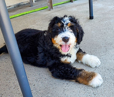 Bernedoodle Puppy Breeder California