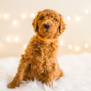 Doodle_Puppies for Sale in California