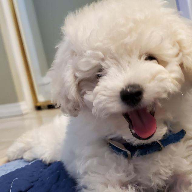 Sire AKC White Toy Poodle