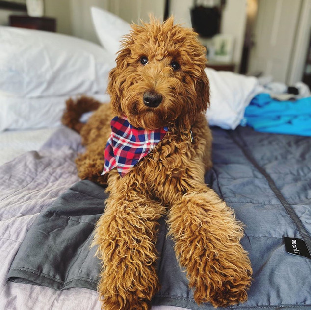 Irish Doodle Puppies for Sale in California