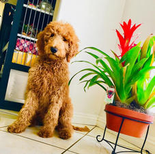Goldendoodle Puppy 5