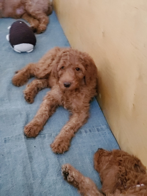 Irish Doodle Breeder in Southern California