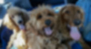 Irish Doodle and Goldendoodle Puppies