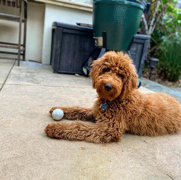 Irish Doodle Puppies in Southern California