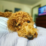 Bernedoodle Puppies for Sale in California