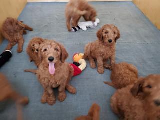 Irish Doodle Puppies in California