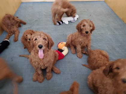 Irish Doodle Puppies in California