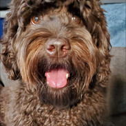 Dam Chocolate Labradoodle for sale in California