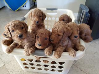 Irish Doodle Puppies