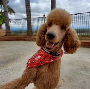 Sire AKC Standard Poodle