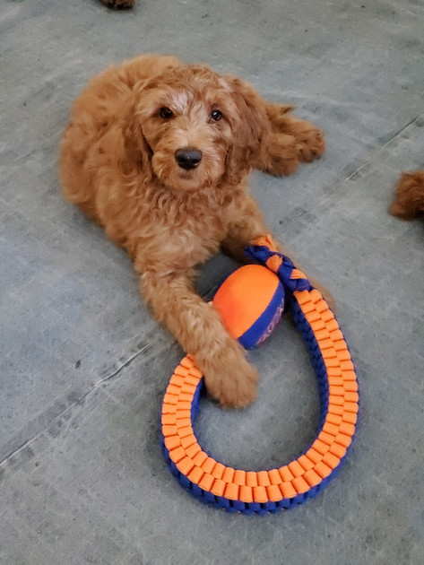 Irish Doodle Breeder in California