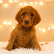 Doodle Puppies for Sale in Southern California