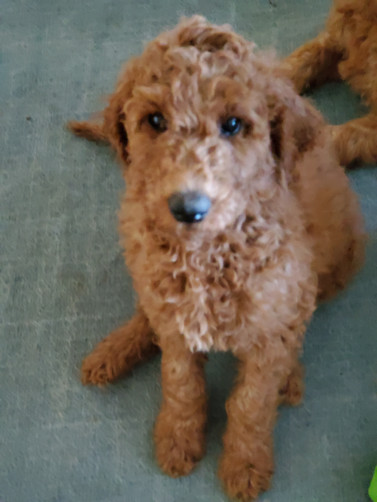 Irish Doodle Breeder in Southern California - Kinzie Doodles