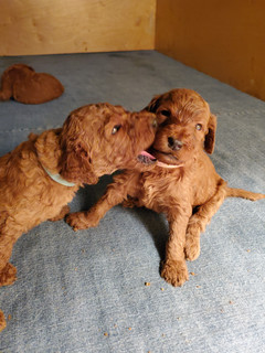 Irish Doodle Puppy Playing