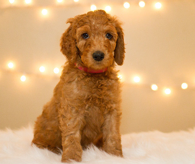 Doodle Puppies for Sale in Southern California | Kinzie Doodles