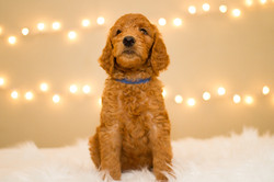 Navy Boy Goldendoodle
