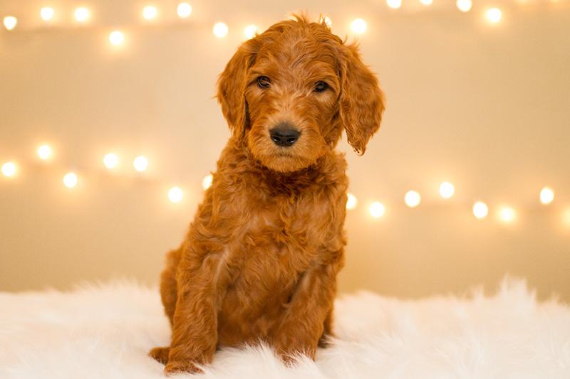 Orange Boy Goldendoodle