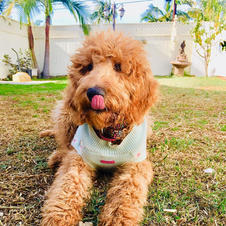 Goldendoodle Puppy 6