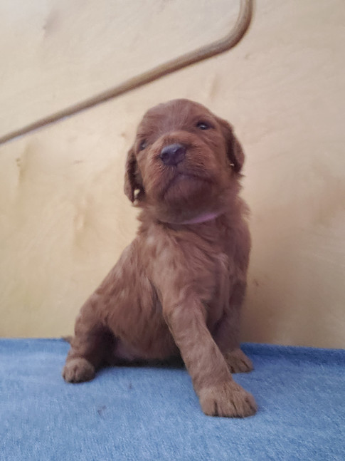 Irish Doodle Puppy - Kinzie Doodles