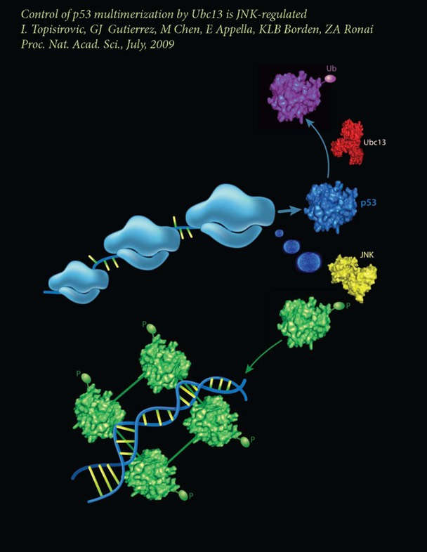 Control of p53 on translationally active polysomes. JNK phosphorylation of p53 occurring on polysomes causes the dissociation of Ubc13 from p53, enabling p53 multimerization and transcriptional activation.