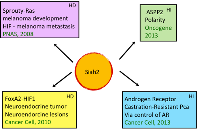 Diagram showing Hypoxia dependency and independency between tumors and Siah2