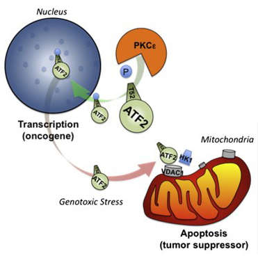 The transcription factor ATF2 elicits oncogenic activities in melanoma and tumor suppressor activities in nonmalignant skin cancer. Here, we identify that ATF2 tumor suppressor function is determined by its ability to localize at the mitochondria, where it alters membrane permeability following genotoxic stress. The ability of ATF2 to reach the mitochondria is determined by PKCε, which directs ATF2 nuclear localization. Genotoxic stress attenuates PKCε effect on ATF2; enables ATF2 nuclear export and localization at the mitochondria, where it perturbs the HK1-VDAC1 complex; increases mitochondrial permeability; and promotes apoptosis. Significantly, high levels of PKCε, as seen in melanoma cells, block ATF2 nuclear export and function at the mitochondria, thereby attenuating apoptosis following exposure to genotoxic stress. In melanoma tumor samples, high PKCε levels associate with poor prognosis. Overall, our findings provide the framework for understanding how subcellular localization enables ATF2 oncogenic or tumor suppressor functions. Read more (Cell, 2012)