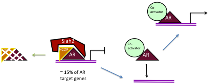 Diagram showing how Siah2 targets the degradation of transcriptional-inactive AR thereby increasing the transactional-active AR poolunderlines CRPC