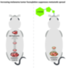 Illustrated diagram of two mice showing suppresson of metastati spread