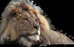 download-lion-PNG-transparent-images-tra
