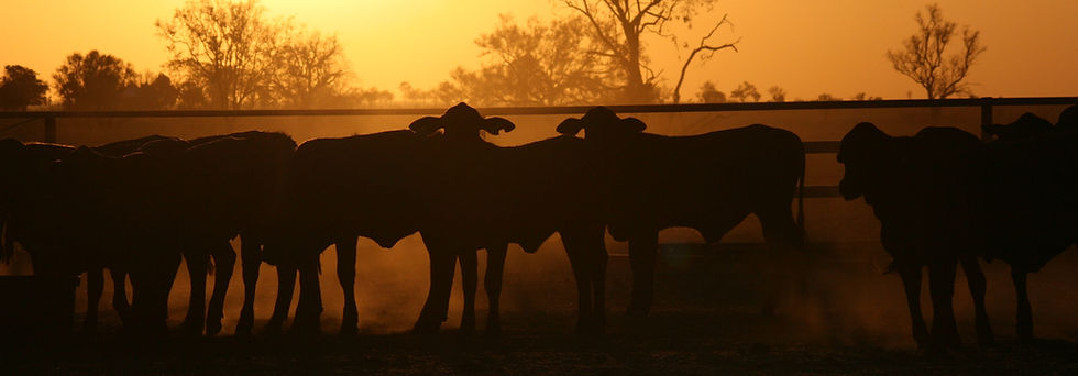 Wean from mother weaners in yards at sun