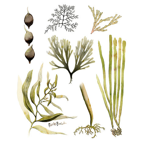 Seaweed of Australia, Watercolor Botanical Painting, Nicole Berlach