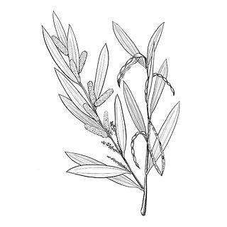 Nicole Berlach_Acacia longifolia.jpg