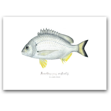 WH BREAM | A3 Art Print