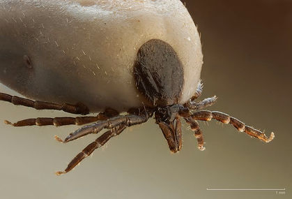 enlarged image of a tick