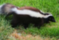 skunk walking in a field