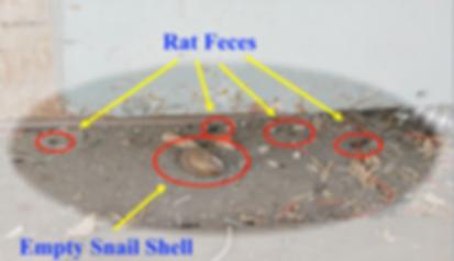 examples of rat feces