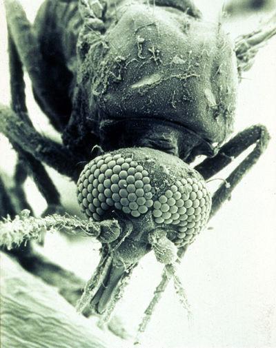 microscopic image of a midge