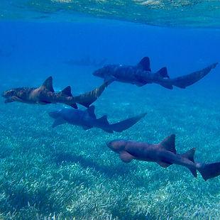 sharks- by taylorklekamp Pixabay 1958062
