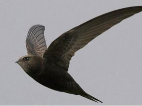 Volunteers wanted for project to help Ilkley's swifts