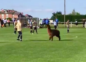 Alpaca stops play at Ilkley Town fixture
