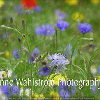 SCOTLAND WILD FLOWERS