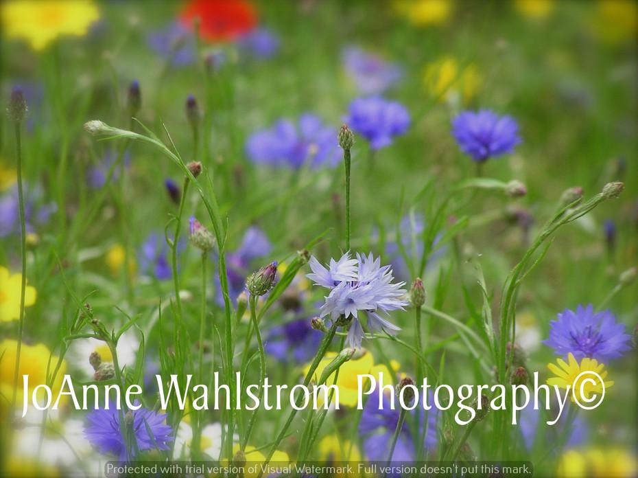 Scottland Wild Flowers