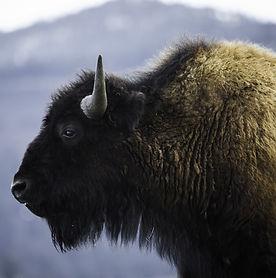 bison-3661056_1920 (1).jpg